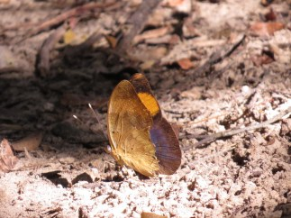 Butterfly, Kosi Bay Camp