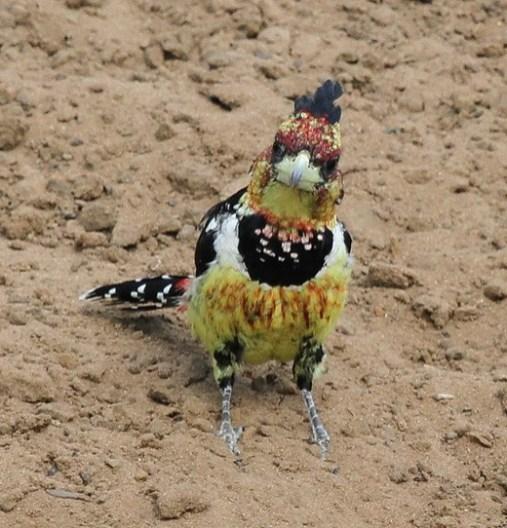 Crested Barbet, Mkuze