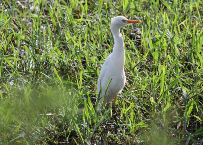 Cattle Egret with yellow thighs! Had us confused for a while.
