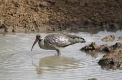 Hadeda Ibis, Mkuze