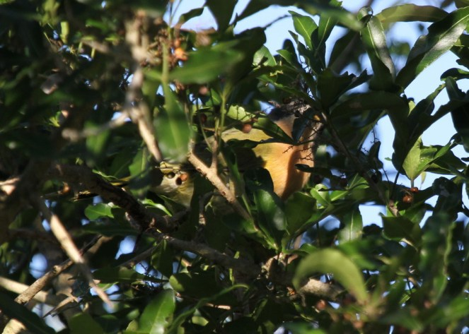 Olive Bush-Shrike, Ilala Palm. Look carefully - he is there. Did you find him?