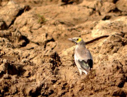 Wattled Starling at Ophansi Pan - Jane Morris