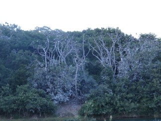 White-breasted cormorant roost and nest site, Lake Sibaya.
