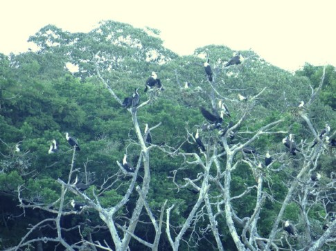 White-breasted Cormorants, Sibaya