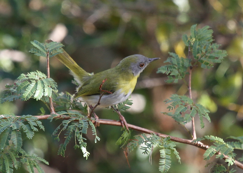 Yellow-breasted Apalis, Tembe