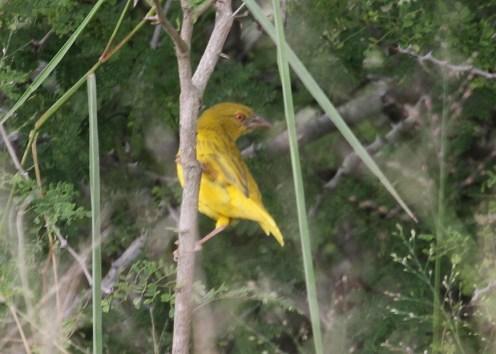 Yellow Weaver, Tembe