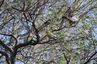 African Green-Pigeon, Kunene River Lodge