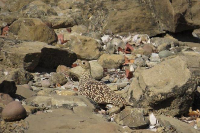 Burchell's Sandgrouse - female, Kunene River Lodge