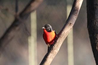 Crimson-breasted Shrike. Zelda.