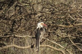 Damara Hornbill