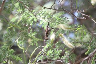 Dusky Sunbird, Kunene River Lodge