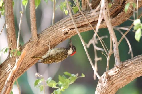 Golden-tailed Woodpecker, Kunene River Lodge