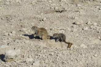 Ground Squirrels. Etosha