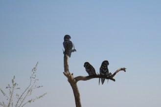 Mara's Birds