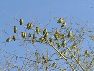 Rosy-faced Lovebirds.. Erongo