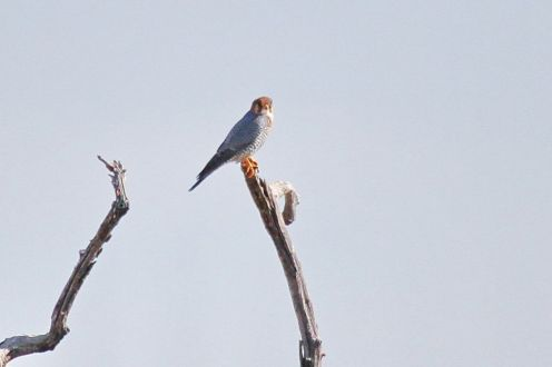 Red-necked Falcon. Etosha