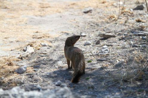 Slender Mongoose. Etosha