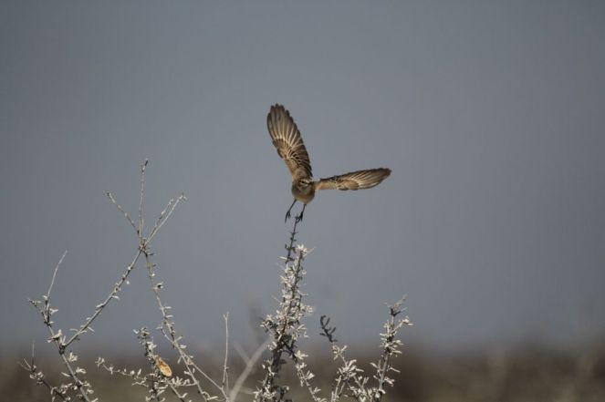 Chat Flycatcher. Etosha