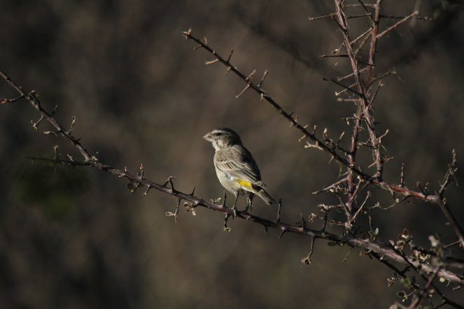 Black-throated Canary.. Erongo