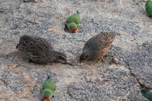 Hartlaub's Spurfowl - male . Erongo(left) & female (right)