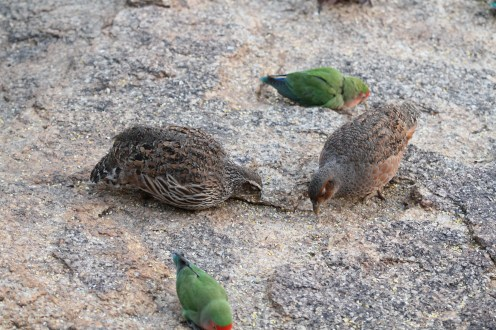 Hartlaub's Spurfowl - male (left) & female (right). Erongo