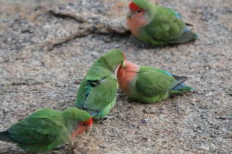 Rosy-faced Lovebirds. Erongo