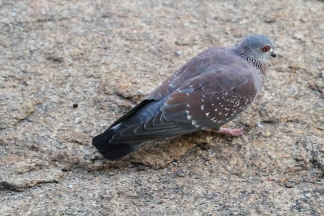 Speckled Pigeon. Erongo