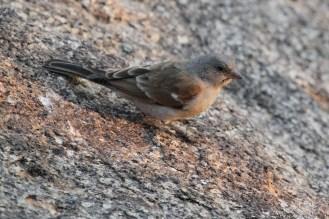 Southern Grey-headed Sparrow -Erongo