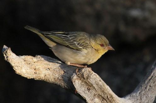 Southern Masked-Weaver - non-breeding male.. Erongo