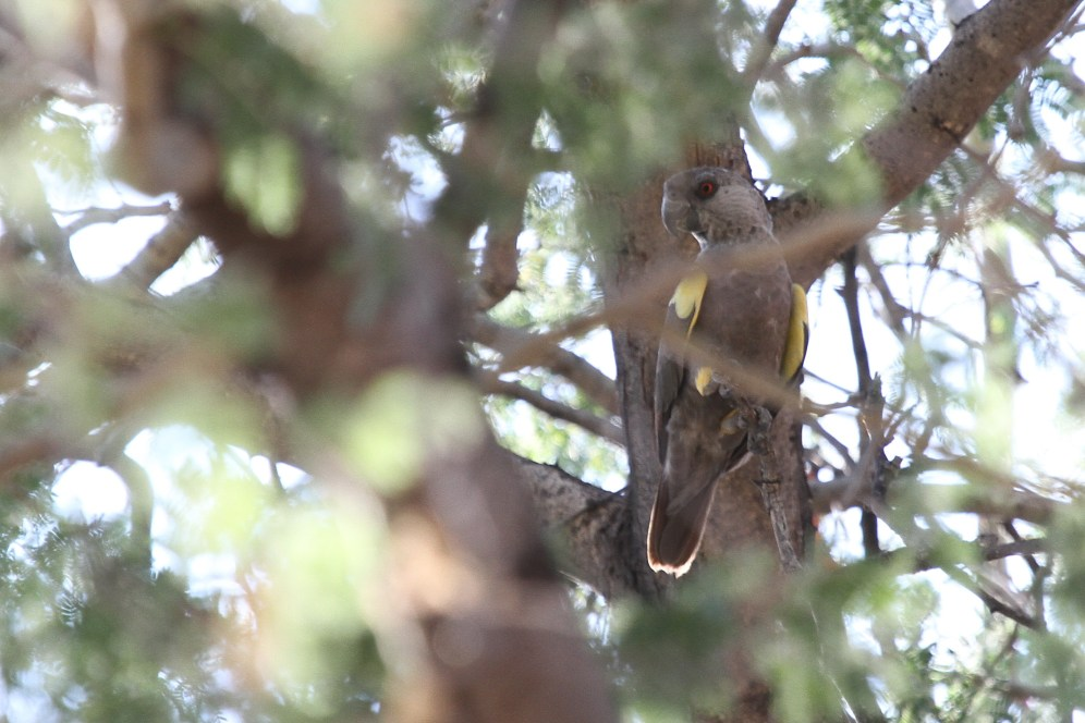 Ruppel's Parrot. Erongo