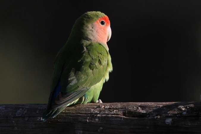 Rosy-faced Lovebird. Erongo