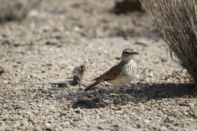 Benguela Long-billed Lark. Brandberg