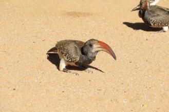 Monteiro's Hornbill, Kamanjab