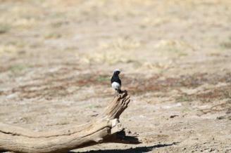Mountain Wheatear - male, Avis Dam