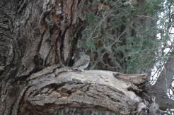 Pearl-spotted Owlet, Kunene River Lodge Sunset Cruise