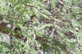 Pririt Batis - female, Kunene River Lodge