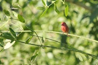 Red-billed Firefinch, Kunene River Lodge