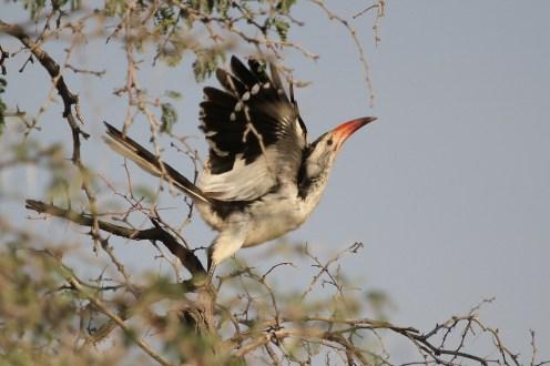 Damara Hornbill. Brandberg