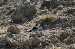 White-tailed Shrike - Kamanjab