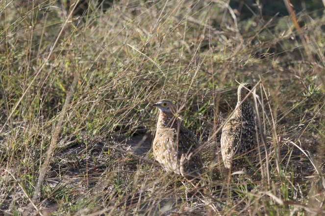 Burchell's Sandgrouse. Chobe NP
