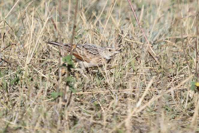 Rufous-naped Lark fending his terretory against another male. Chobe NP