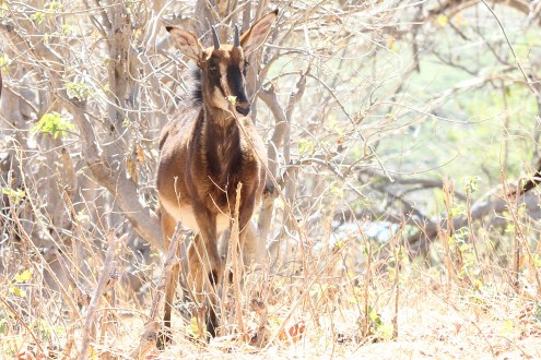 Sable Youngster, Chobe NP
