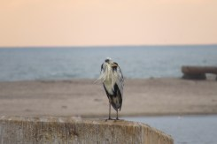Cold and bedraggled Grey Heron.