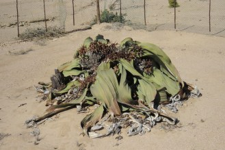 Welwitschia Plant - apparently they live over 2000 years.