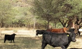 Stunted Cattle