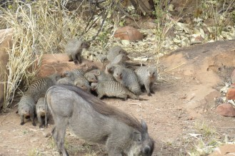 Banded Mongooses with Mr. Warty.