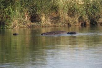 Visiting Hippos