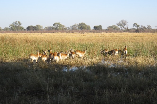 Red Lechwe in the wetland next to the camp