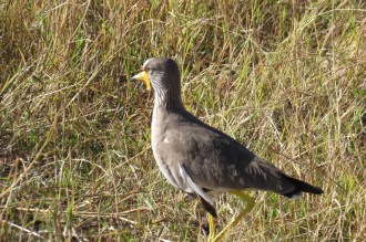 Wattled Lapwing. Nambwa