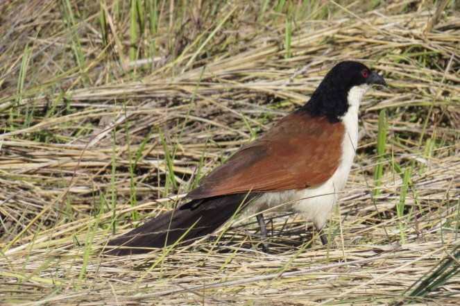 Coppery-tailed Coucal. Katima Mulilo, Caprivi